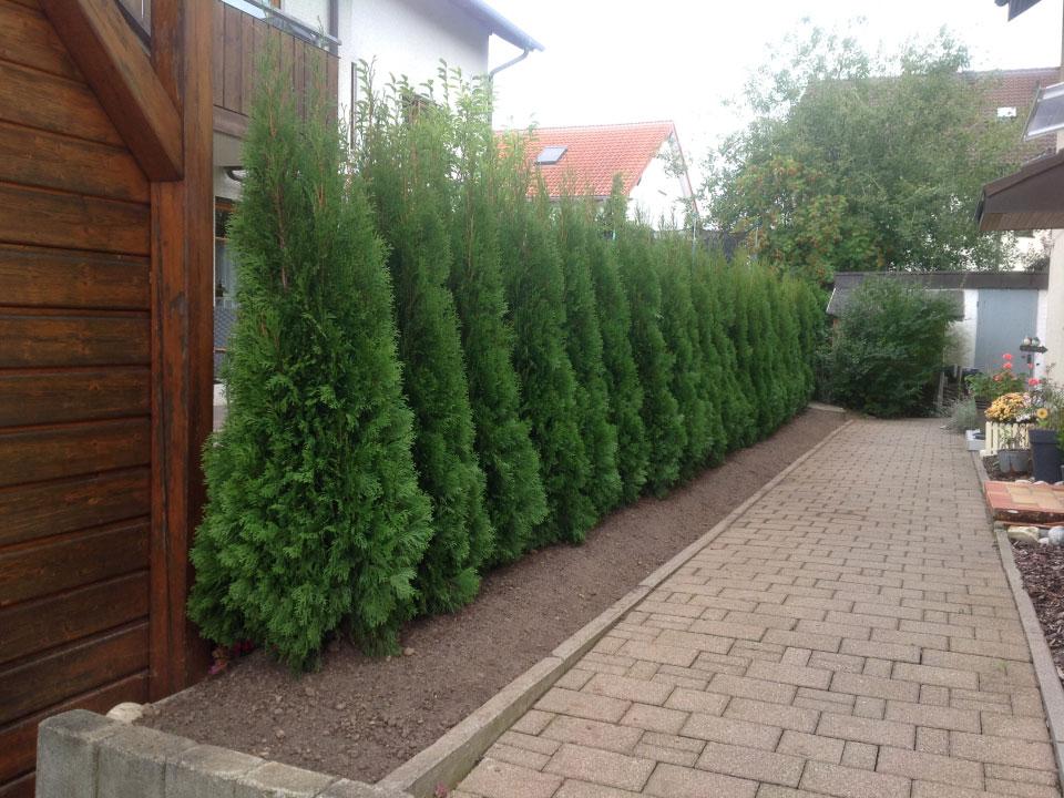 Thujahecke gepflanzt in Heilbronn-Sontheim - Gartenparadies E. + L. Schmalz GbR